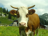Photo of Le mucche, il latte e la vernice del Vaticano