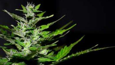 Photo of La marijuana
