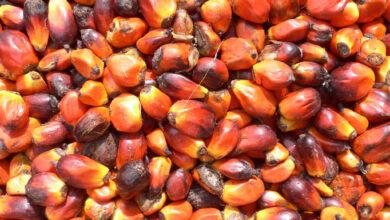 Photo of Olio di palma: il nemico moderno dell'uomo moderno