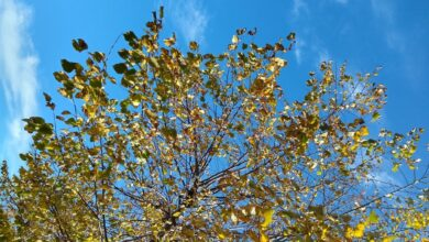 Photo of Il mistero delle foglie gialle