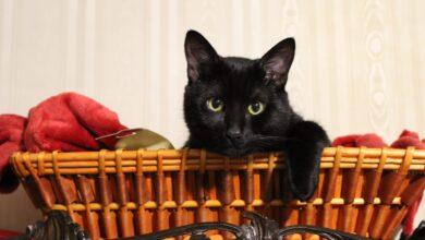 Photo of Volevo un gatto nero