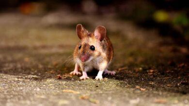 Photo of Il curioso caso del topolino Benjamin Button