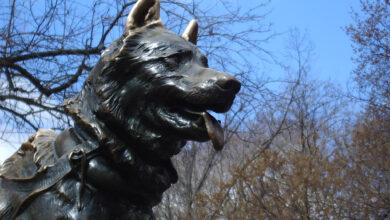 Photo of La vera storia di Balto, il cane e il lupo