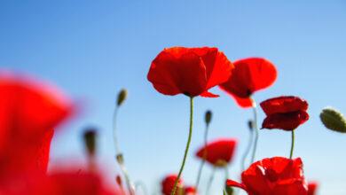 Photo of Papavero, un fiore tra la vita e la morte